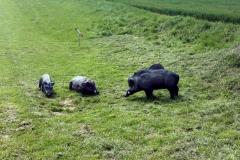 007_OX-BoW-Wildschwein-großeWiese