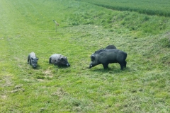 Tagesausflug-Heilbronn-Stuttgart-Bergwald-Wildschweine